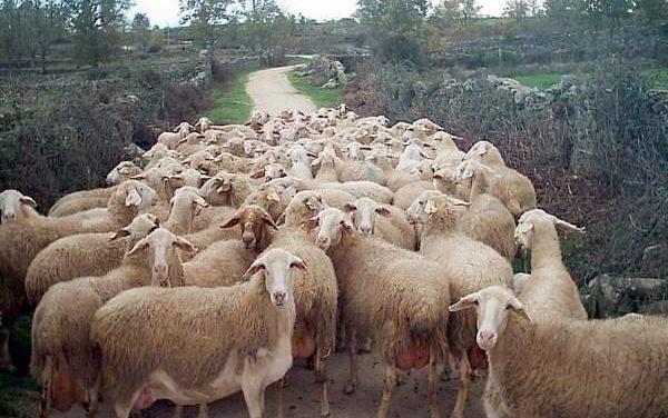 La Junta convoca ayudas para el fomento de las razas de ganado ovino y bovino autóctonas  españolas