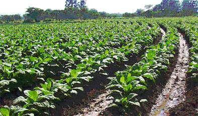La superficie de tabaco contratada para este ejercicio en Extremadura es de 8.700 hectáreas