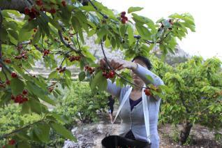 El Valle del Jerte pide ayuda a la Junta de Extremadura para paliar la mala campaña de la cereza
