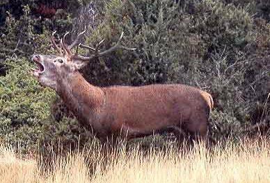 El Ejecutivo regional aprueba un decreto sobre el control de piezas de caza mayor para evitar la tuberculosis bovina