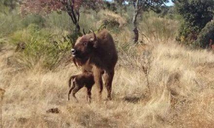 Nace el primer bisonte europeo en la región de Extremadura después de 10.000 años