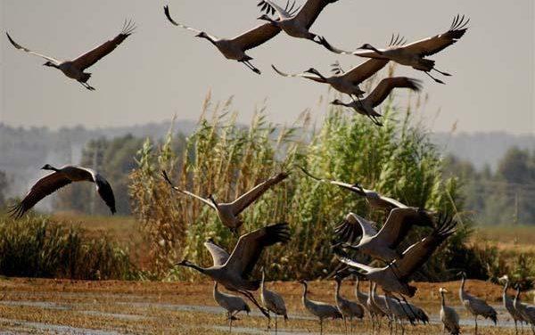 Moraleja dará comienzo este fin de semana a las V Jornadas Ornitológicas con una quedad grullera