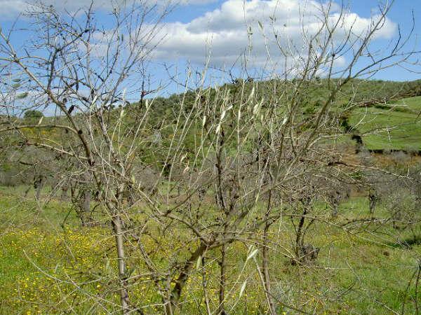 Los olivicultores de Tierras de Granadilla perderán el 50% de la campaña de aceituna debido a las heladas