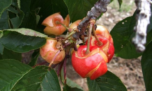 Las lluvias afectan al 80% de la cereza temprana del Ambroz y se prevé que la producción caiga a la mitad
