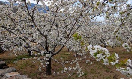 Los cerezos del valle del Jerte se encuentran cerca de la media necesaria para conseguir la floración