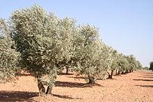 La producción de aceite de oliva en Extremadura supera las 42.000 toneladas en lo que va de año