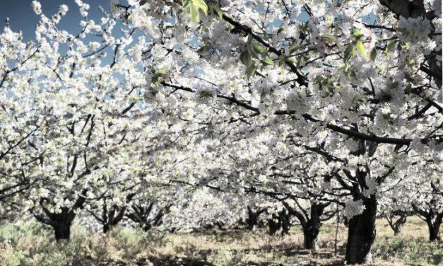 El Valle del Jerte se prepara para acoger las celebraciones con motivo de la floración de los cerezos