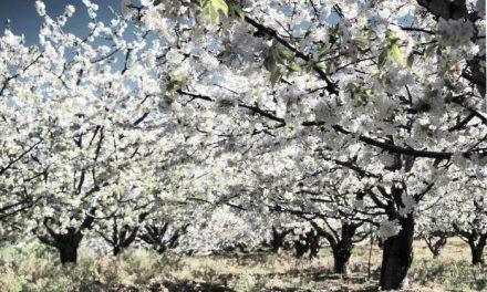La climatología permite este año ver los cerezos en flor del Valle del Jerte cubiertos de nieve