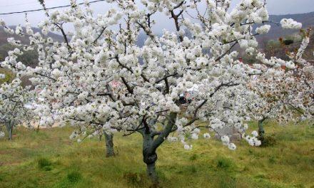 Más de 1,2 millones de cerezos en flor pueden visitarse estos días en el Valle del Jerte