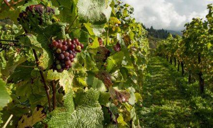APAG Extremadura ASAJA prevé una mejoría de precios en la uva y en el vino en la campaña de este año