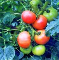 UNEXCA califica de buena la campaña del tomate en rendimientos y muy buena en calidad