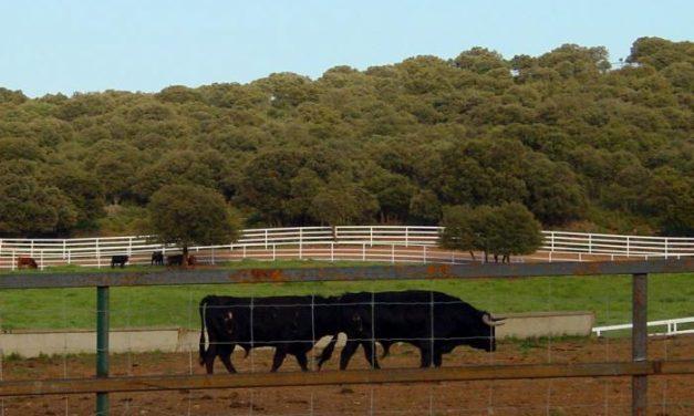Moraleja acogerá en octubre un congreso sobre alimentación, lidia y sanidad del toro bravo