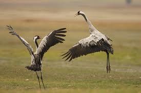 Las grullas llegarán un año más a Moraleja para protagonizar las VI Jornadas de Orniturismo