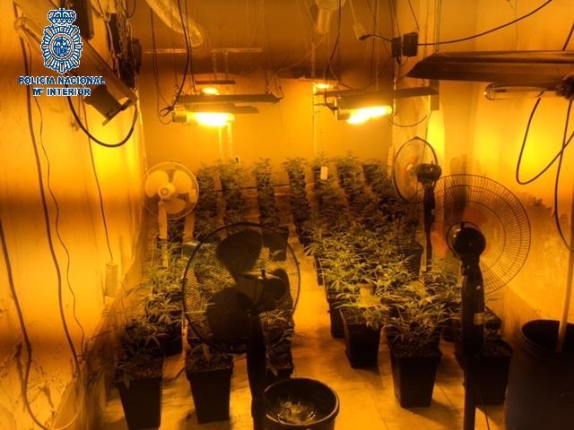 La Policía Nacional detiene a 4 jóvenes y desmantela 1.400 plantas de marihuana en Mérida