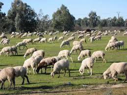 La Junta amplía hasta el 30 de junio el plazo del pastoreo controlado para prevenir incendios forestales