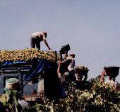 Las organizaciones agrarias extremeñas demandan al Sexpe 900 trabajadores para la campaña de la vendimia