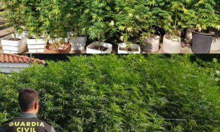 Desmantelan dos plantaciones de marihuana en la pedanía cauriense de Rincón del Obispo