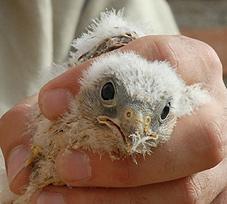 La asociación, Dema, sale a la calle para animar a rescatar pollos de cernícalos primilla caídos de sus nidos