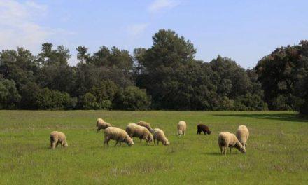 La Junta de Extremadura abona 24 millones de euros en ayudas al ovino extremeño