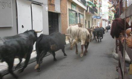 Moraleja pone fin a unas fiestas de San Buenaventura sin heridos por asta de toro