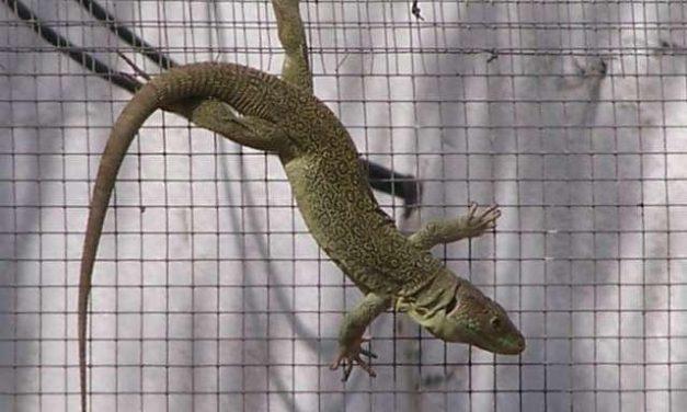 Un aula de zoología de Herguijuela se dedica a la cría de lagartos y galápagos de especies protegidas
