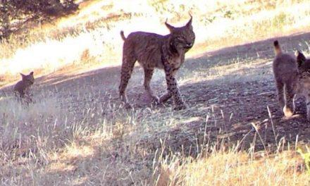 Nacen los primeros cachorros de lince ibérico en libertad en el área de Valdecañas-Ibores