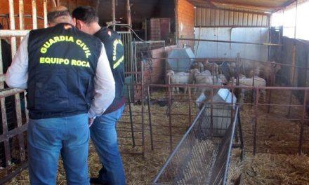 Desarticulado un grupo criminal organizado dedicado al robo de ganado en explotaciones de Badajoz