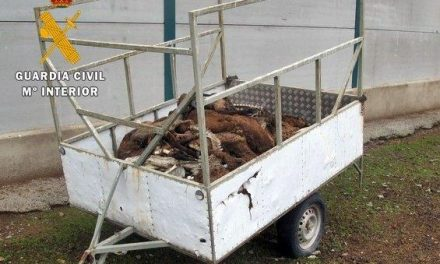 Un ganadero se enfrenta a 18 meses de prisión por dejar morir de hambre a 60 ovejas merinas en Cabeza del Buey