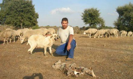 Un ataque de buitres mata a cinco ovejas de dos fincas de Pozuelo de Zarzón y Villanueva de la Sierra