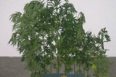 Detenido un hombre de 59 años en la capital de provincia de Badajoz por cultivar marihuana