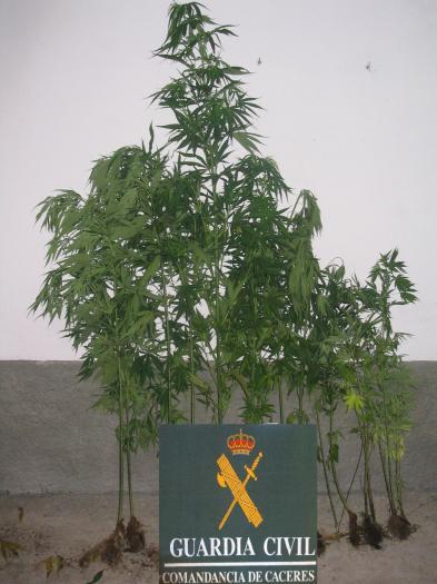 Detienen en la localidad pacense de Villafranca de los Barros a un joven con 18 plantas de marihuana