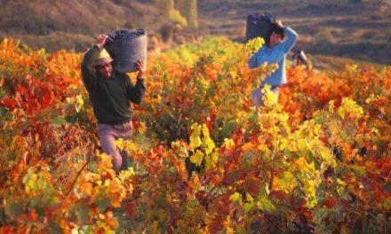 La vendimia comienza en Extremadura con perspectivas de mayor producción y calidad del vino