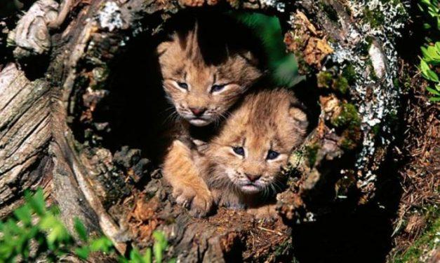 El centro extremeño de cría del lince ibérico de Zarza de Granadilla acogerá los primeros ejemplares en 2008