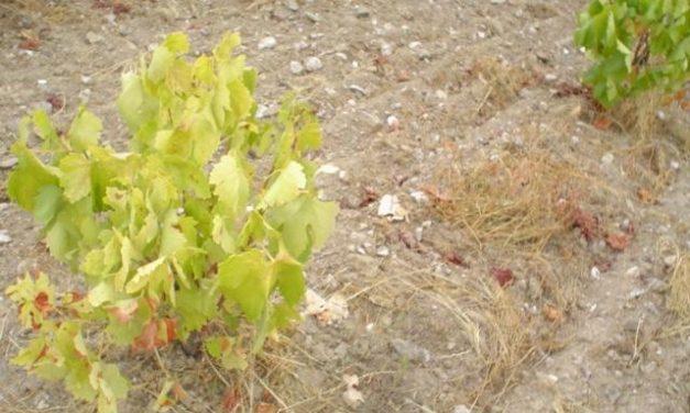 La demanda de arranque de viñedos podrían llegar a 4.000 hectáreas en Extremadura