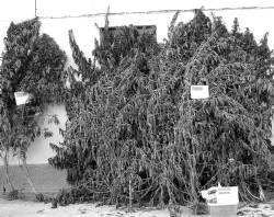 La Guardia Civil desmantela tres plantaciones de marihuana en Valdetorres y detiene a cinco personas
