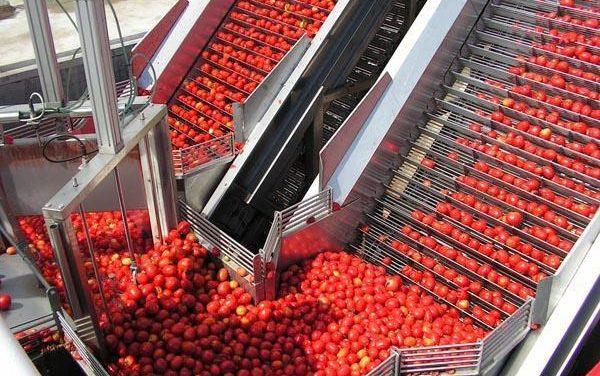 """Agricultura ha detectado una plaga de """"polilla"""" en los tomates de los cultivos de las Vegas del Guadiana"""