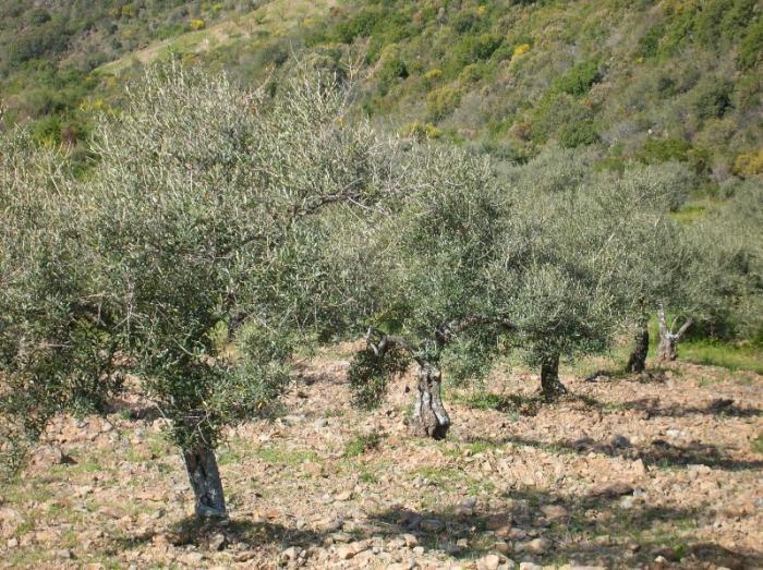 Asaja asegura que la aceituna de almazara este año tendrá más producción y mejores precios