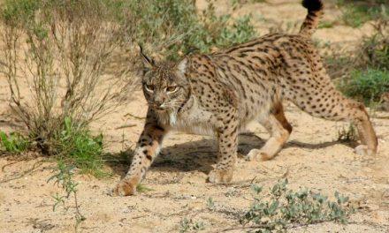 Los primeros ejemplares de linces ibéricos en cautividad llegarán a Extremadura en el 2010