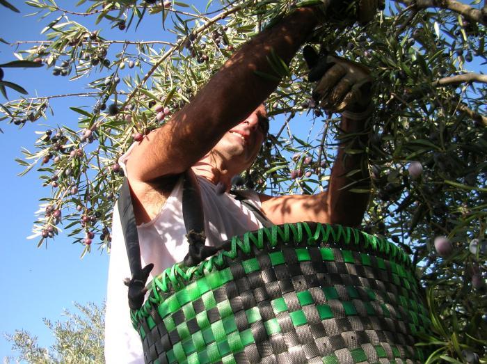La producción de aceite de oliva de la próxima campaña será similar a la actual