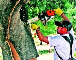 La caída del mercado deja en los árboles extremeños 5.000 toneladas de corcho con un descenso del 25%