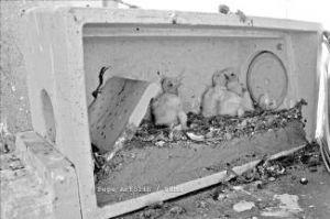 Dema pondrá otros 60 nidos para los cernícalos primillas en la parroquia de la Purificación de Almendralejo