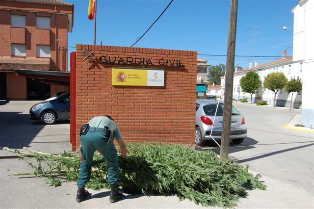 La Guardia Civil desmantela una plantación de 366 kilos de marihuana en Casatejada a punto de su recolección