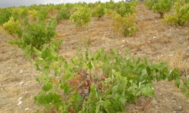 La producción de vino y mosto cae en la región de Extremadura un 1,9% en la campaña actual