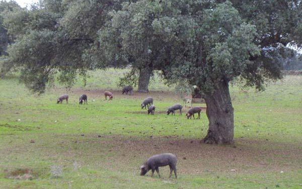 La consejería de Agricultura estudia crear en el 2009 líneas de apoyo a la dehesa y al ganado ovino