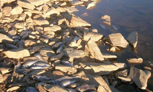 Cientos de peces mueren en la represa del Borbollón por falta de oxígeno en el agua según la CHT