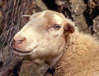 Los veterinarios certifican decenas de ovejas enfermas y muertas por lengua azul en el suroeste de Extremadura