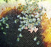 El sector apícola extremeño alerta del repunte de la mortandad de las abejas en los últimos meses