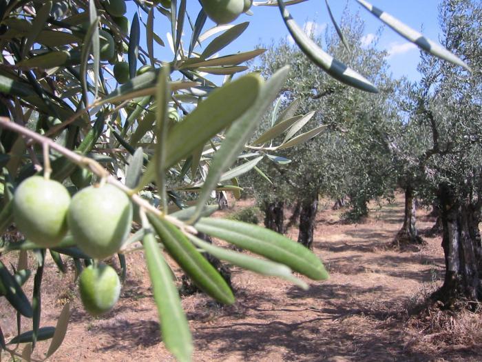 La Unión Extremadura convoca este jueves un paro general en la recogida de aceituna de verdeo