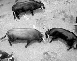Zafra celebrará los días 26 y 27 de octubre el VIII simposio internacional sobre el toro de lidia