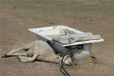 La enfermedad de la lengua azul ha matado ya a casi 3.000 ovejas en 324 fincas de Extremadura